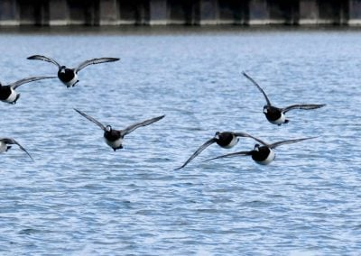 Aldenham Ducks in flight - Gerry
