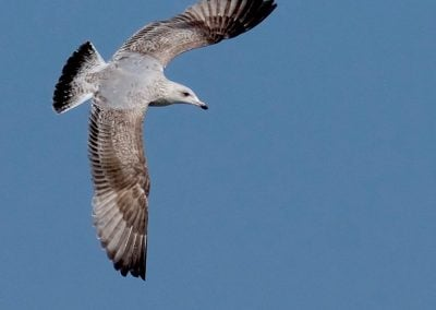 Aldenham gull in flight - Gerry