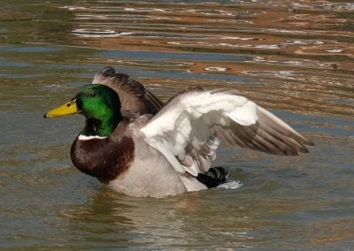Mill Hill Pond Duck 2 - Gerry